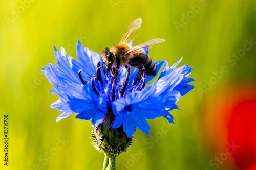 Foto op Plexiglas Bee Nektar suchende Biene auf einer Kornblume