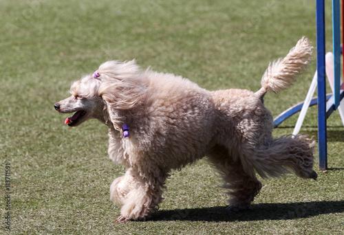 Fényképezés  Dog a poodle at training on Dog agility