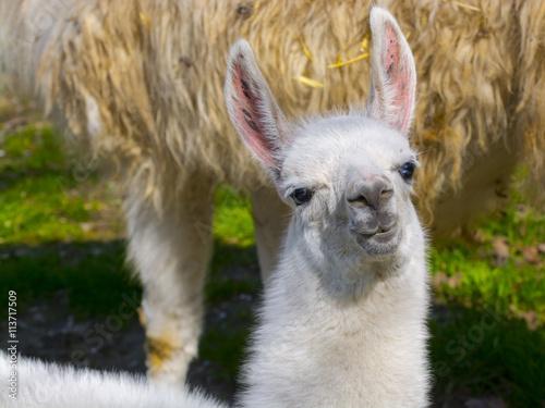 White llama cria