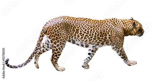 Deurstickers Luipaard Adult male leopard