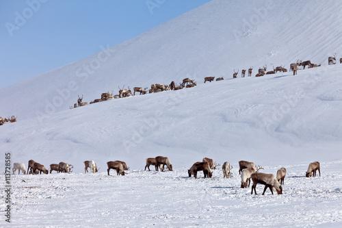 Fotografie, Obraz  Group of caribou