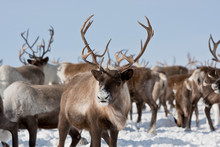 Group Of Caribou