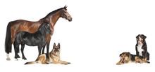 Pferde Hunde Weisser Hintergru...