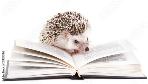 African hedgehog and book Tableau sur Toile