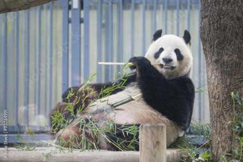 Stickers pour portes Panda Giant panda bear eating fresh bamboo