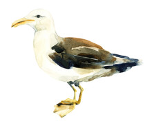 Watercolor Seagull Bird Isolated Over White Background.
