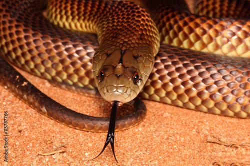 Fotografie, Obraz Pseudechis australis, commonly known as the king brown- or mulga snake, or Pilbara cobra, is a species of venomous snake found in Australia