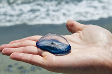 Velella Placed On The One Hand