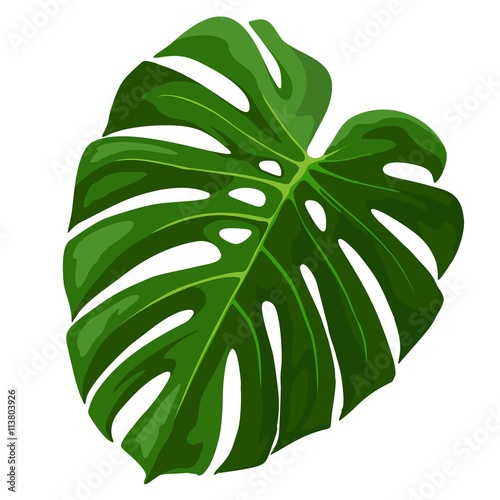 Staande foto Draw Tropical Leaf Monstera Plant isolated on white