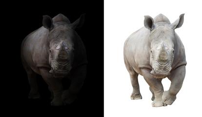 white rhinoceros in dark  and white background