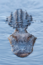 Alligator In Blue Swamp