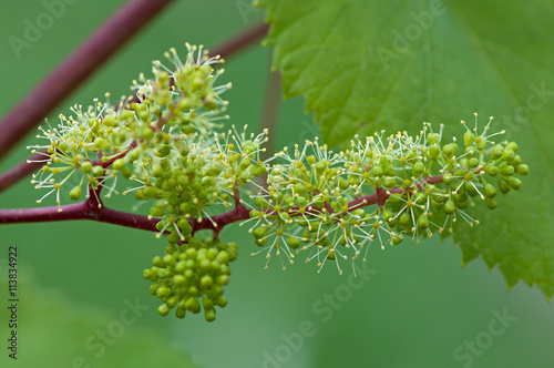 Fotografía  Grapes, flowering vine, green flowers of grape, the initial development of the grapes