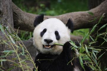 Panel Szklany Panda Großer Panda frisst Bambus