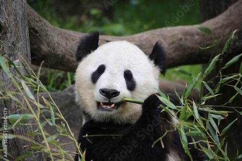 Foto op Canvas Panda Großer Panda frisst Bambus