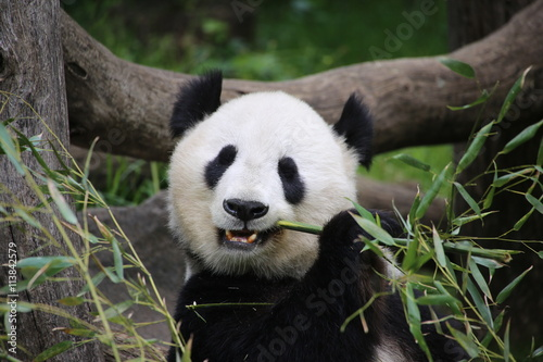 Deurstickers Panda Großer Panda frisst Bambus