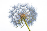 dandelion isolated on a white background - 113842721