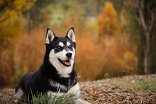 Siberian Husky Lying Down With Natural Background With Autumn Colors