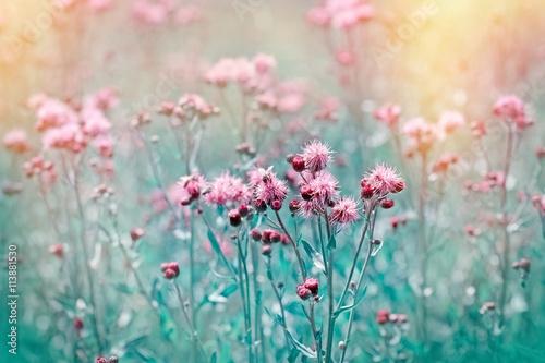 Leinwand Poster Flowering, blooming thistle - burdock in meadow