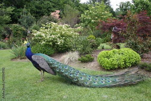 Fotografie, Obraz  le paon bleu au jardin