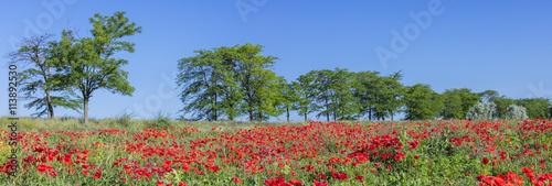 Foto op Plexiglas Blauwe hemel poppies field and trees under blue sky