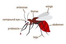 Illustration Of Mosquito Vocab...