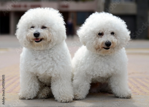 Fototapeta Bichon Frise on the waterfront in Vina del Mar.