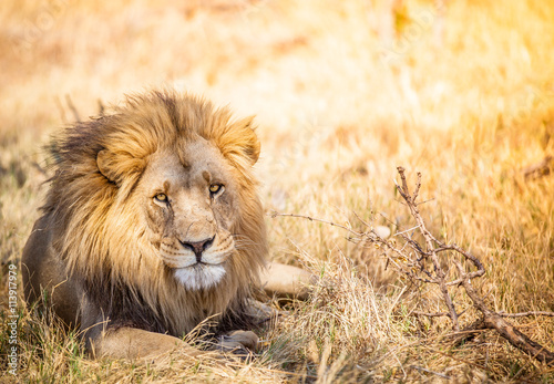 obraz dibond Large lion in Botswana savannah