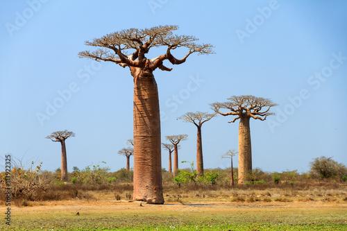 Keuken foto achterwand Baobab Beautiful Baobab trees (adansonia grandidieri) in the landscape of Madagascar