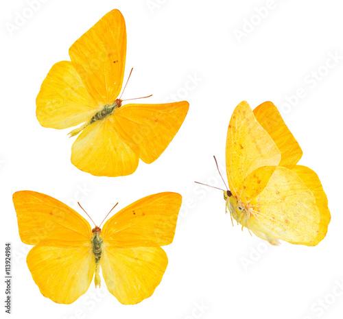 Fotografie, Obraz  apricot sulphur butterfly
