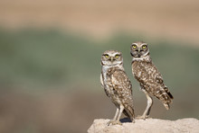 USA, Arizona, Buckeye. A Pair Of Burrowing Owls.