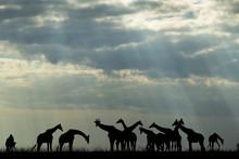 Africa, Botswana, Chobe National Park, Silhouette Of Herd Of Giraffes (Giraffa Camelopardalis) Feeding Along Chobe River's Banks