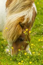 Europe, Scotland, Shetland Islands. Shetland Pony Eating.