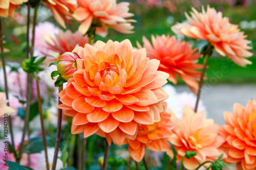 Spoed Foto op Canvas Dahlia Dahlia orange flowers in Point Defiance park in Tacoma