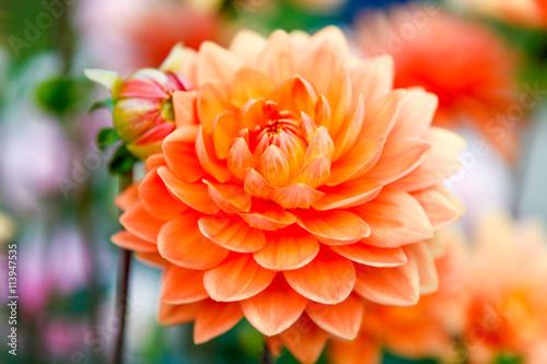 Poster de jardin Dahlia Dahlia orange flowers in Point Defiance park in Tacoma