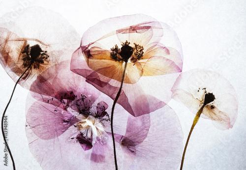 dry poppies - 113948944