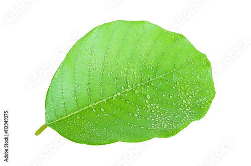 Fototapety, obrazy: Green leave isolated on white background