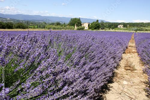 Garden Poster Lavender lavandes en provence