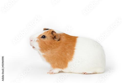 Fotografía  guinea-pig on the light background