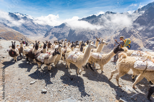 Fotografia Llamas herd carrying heavy load, Bolivia mountains.