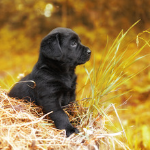Beautiful Black Puppy Dog Labrador