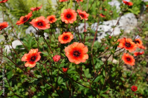 Fotografija  Red and orange cinquefoil flowers (potentilla nepalensis)