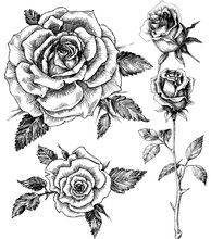 Flowers Set. Hand Drawn Rose V...