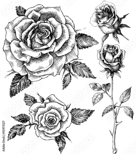 Canvas Print Flowers set. Hand drawn rose vector, etch style
