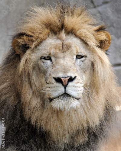 Staande foto Leeuw African lion (Panthera leo)