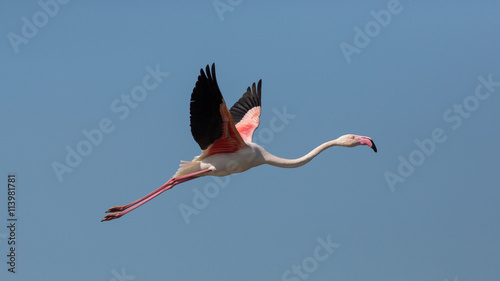 Flying Greater flamingo (Phoenicopterus roseus), Camargue, France