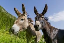 Black And White. Two Donkeys B...