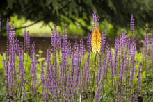 Red Hot Poker. A Flower Know A...