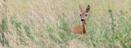 In de dag Ree Ein Reh (Capreolus capreolus) versteckt sich im hohen Gras und sichert die Umgebung