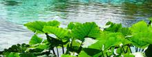 Sunlit Elephant Ear Plants By Water