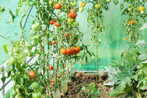 Fotomural culture de tomates bio dans une serre